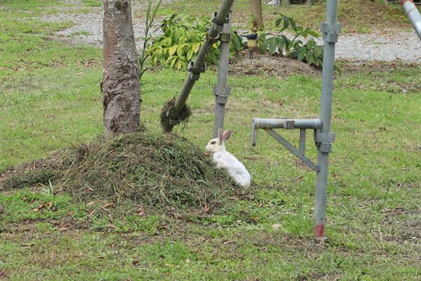カルディア第2キャンプ場のウサギ