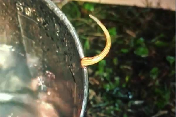 キャンプ場で見た山蛭