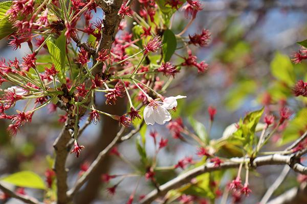 南光自然観察村の葉桜