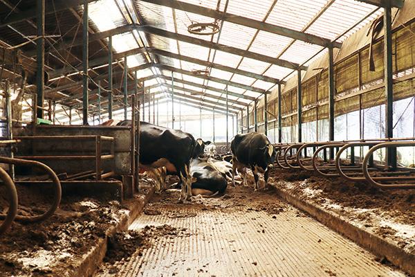 ハートランド朝霧牧場の牛舎